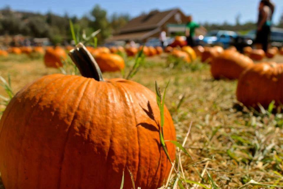 Pumpkin Patch And Christmas Trees